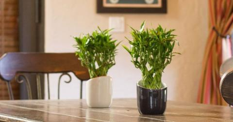 Types of Lucky Feng Shui Bamboo Plant and it's use