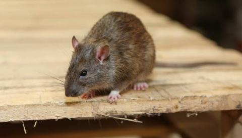 Get rid of rats with these tips click to know
