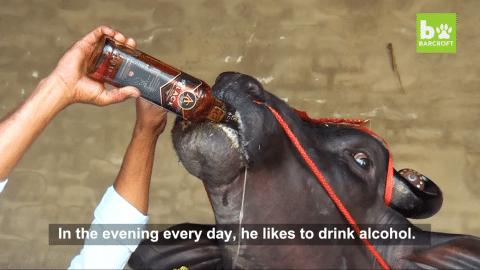 Expensive superbull that drinks whiskey
