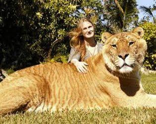 Bukan Singa, Ternyata Inilah Kucing yang Paling Besar di Dunia